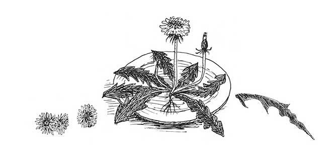 Hooger Nüsse Buchillustration: Löwenzahn